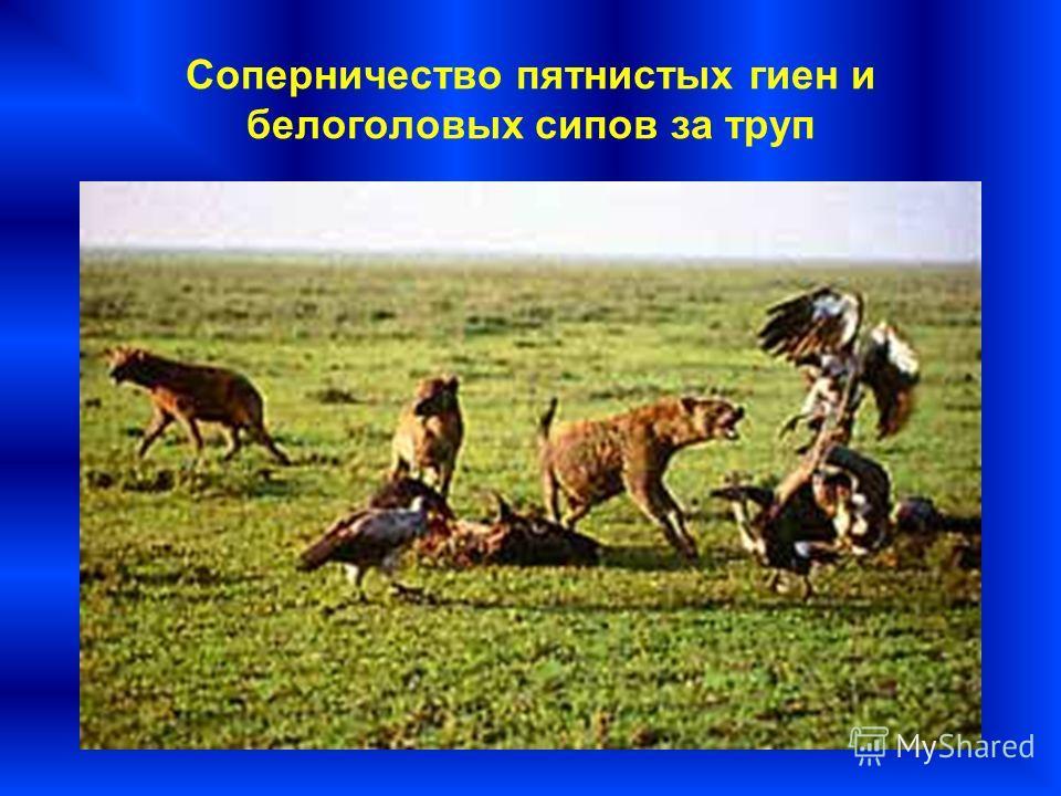 Соперничество пятнистых гиен и белоголовых сипов за труп