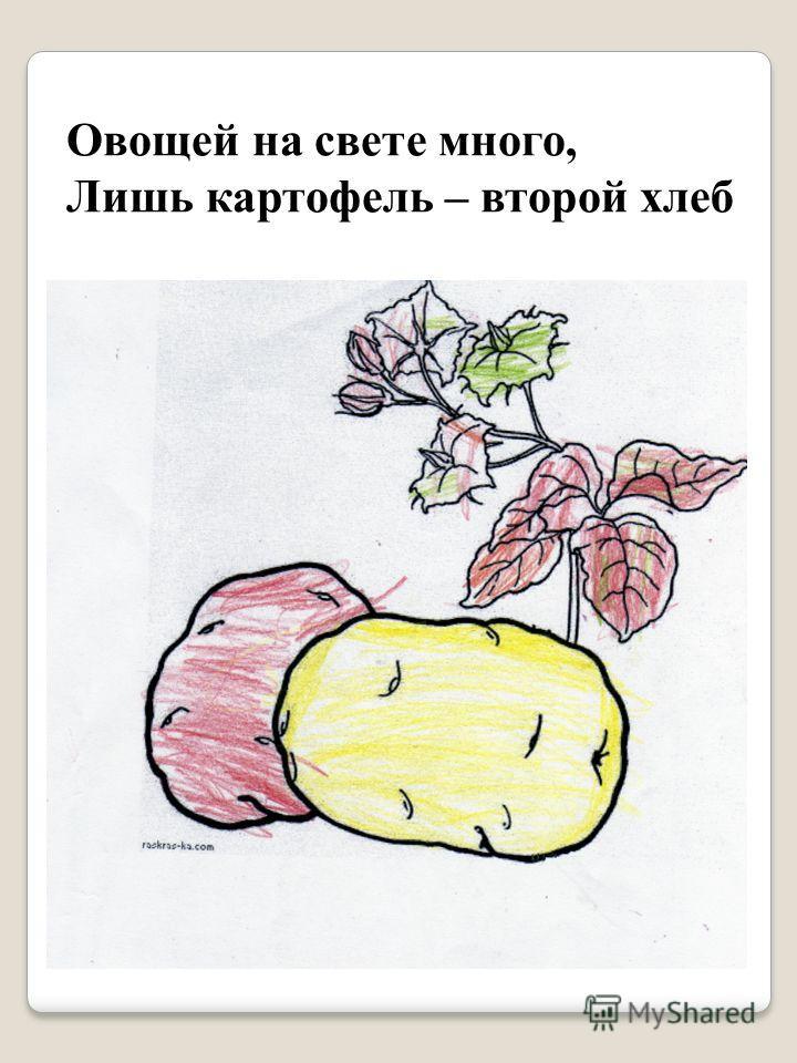 Овощей на свете много, Лишь картофель – второй хлеб