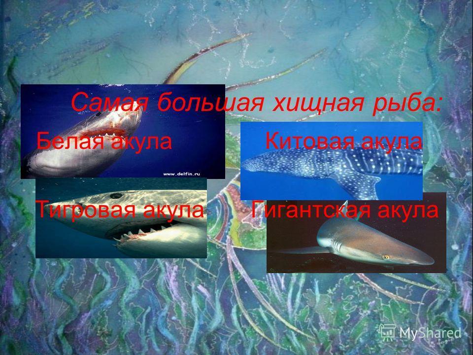 Самая большая хищная рыба: Белая акула Китовая акула Тигровая акула Гигантская акула
