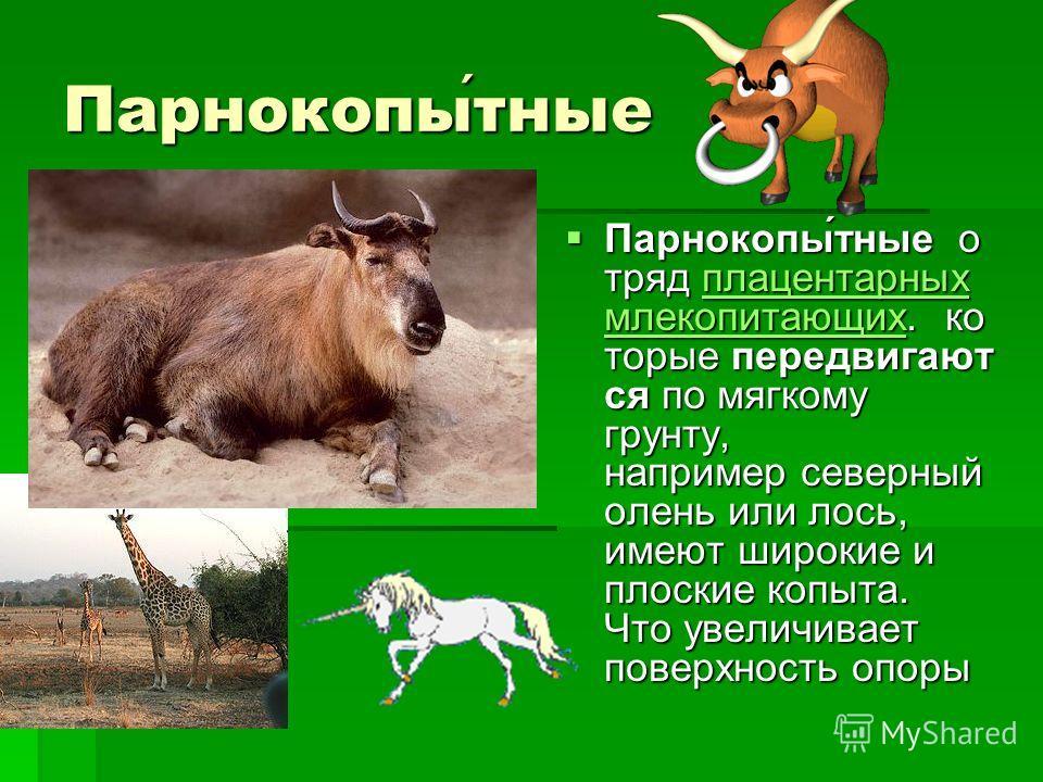 Парнокопытные Парнокопы́тные о тряд плацентарных млекопитающих. ко торые передвигают ся по мягкому грунту, например северный олень или лось, имеют широкие и плоские копыта. Что увеличивает поверхность опоры Парнокопы́тные о тряд плацентарных млекопит