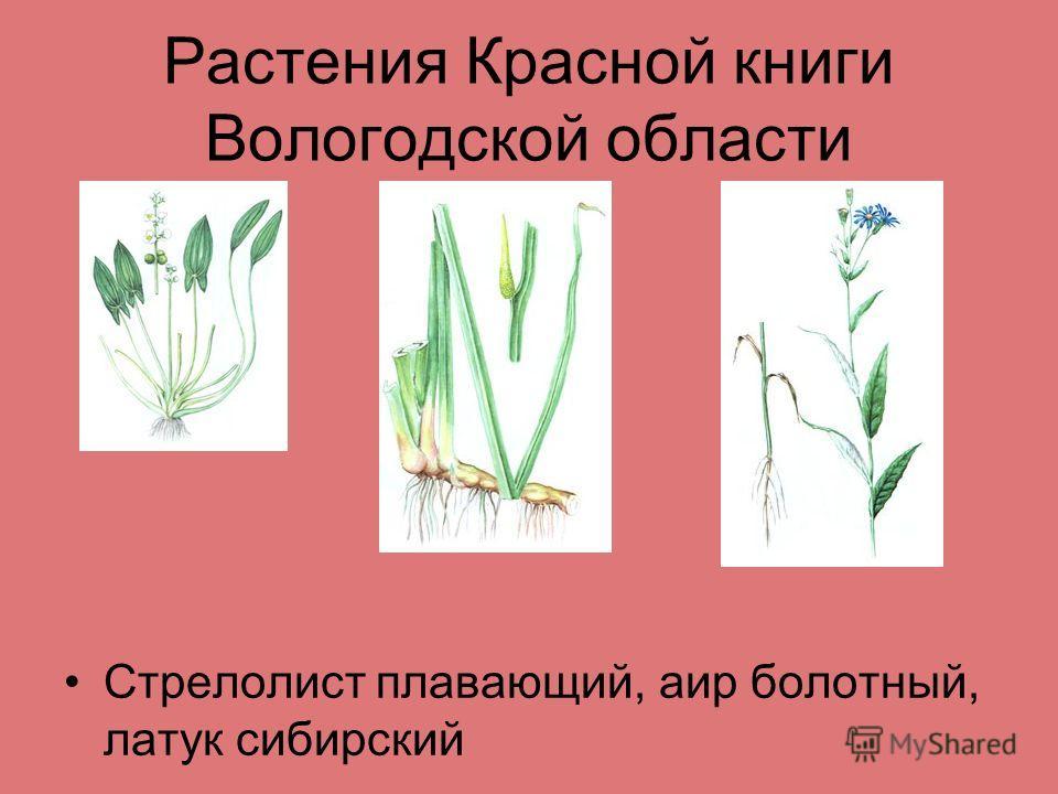 Растения Красной книги Вологодской области Стрелолист плавающий, аир болотный, латук сибирский