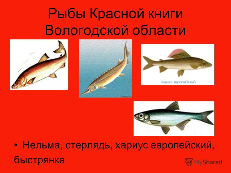 Рыбы Красной книги Вологодской области Нельма, стерлядь, хариус европейский, быстрянка