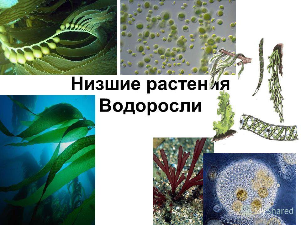 Низшие растения Водоросли Биология 6 классБиология 6 класс Соколова И АСоколова И А