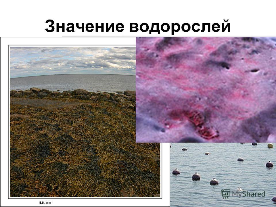 Значение водорослей О2О2