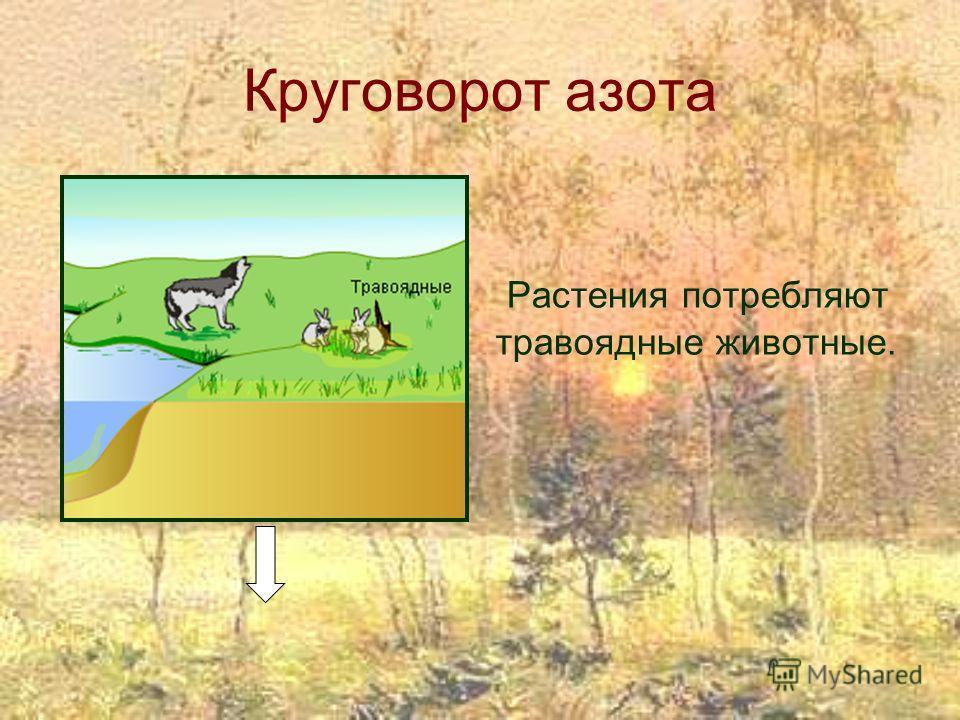 Круговорот азота Растения потребляют травоядные животные.