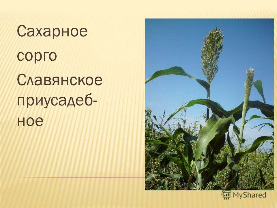 Сахарное сорго Славянское приусадеб- ное