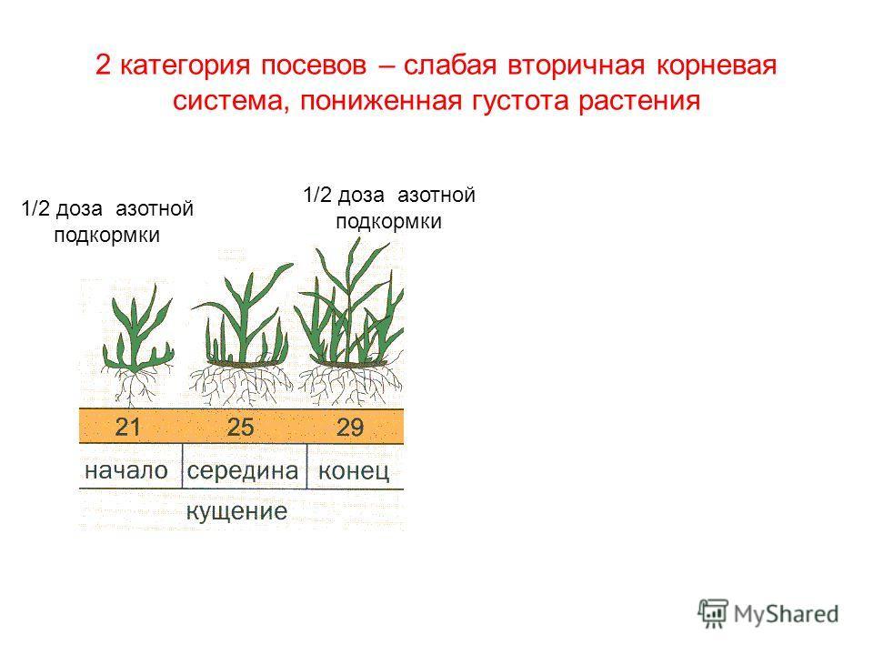 2 категория посевов – слабая вторичная корневая система, пониженная густота растения 1/2 доза азотной подкормки