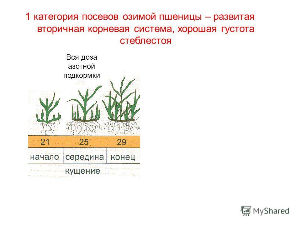 1 категория посевов озимой пшеницы – развитая вторичная корневая система, хорошая густота стеблестоя Вся доза азотной подкормки