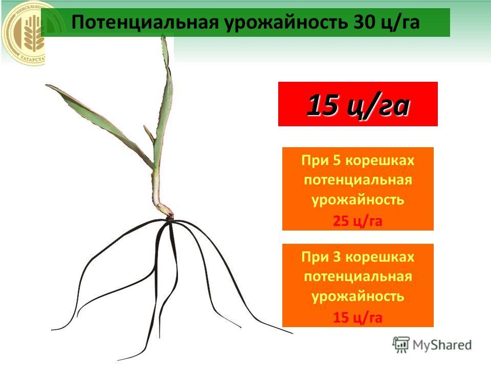 30 ц/га 25 ц/га 20 ц/га 15 ц/га При 5 корешках потенциальная урожайность 25 ц/га Потенциальная урожайность 30 ц/га При 3 корешках потенциальная урожайность 15 ц/га