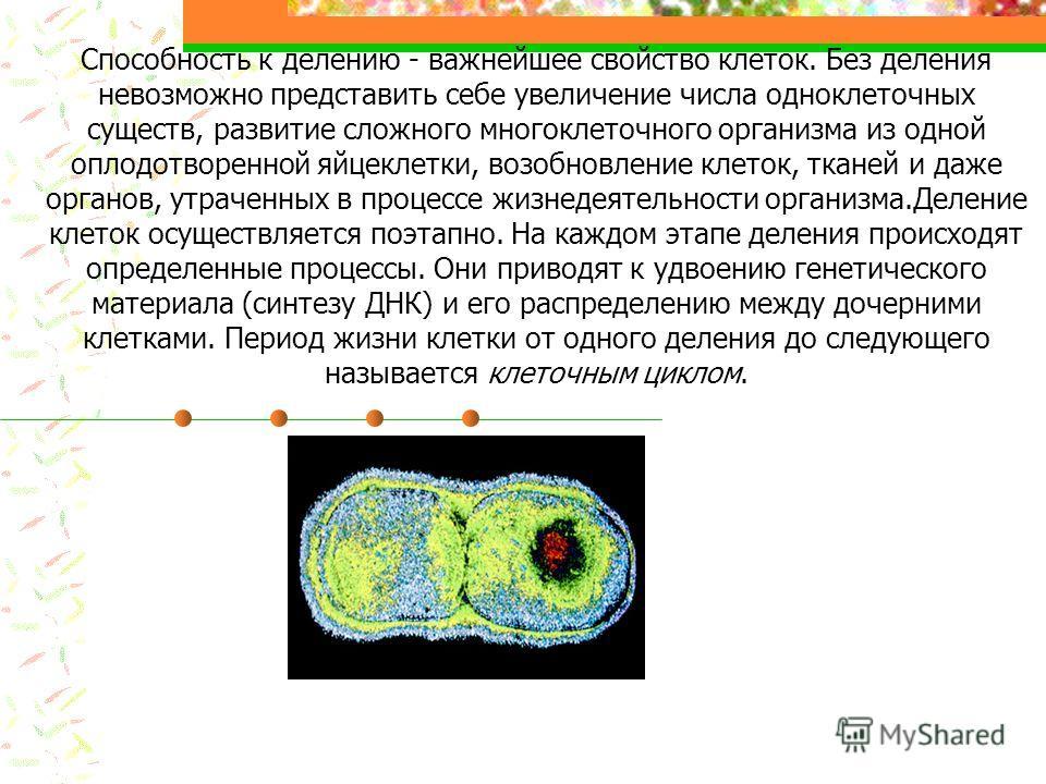 Способность к делению - важнейшее свойство клеток. Без деления невозможно представить себе увеличение числа одноклеточных существ, развитие сложного многоклеточного организма из одной оплодотворенной яйцеклетки, возобновление клеток, тканей и даже