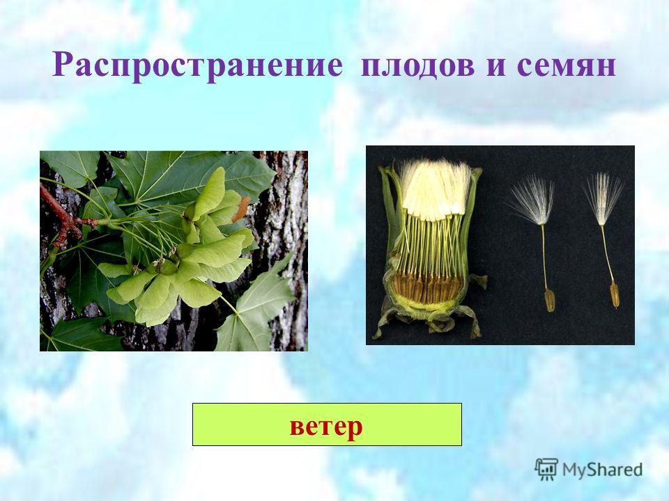 Распространение плодов и семян ветер