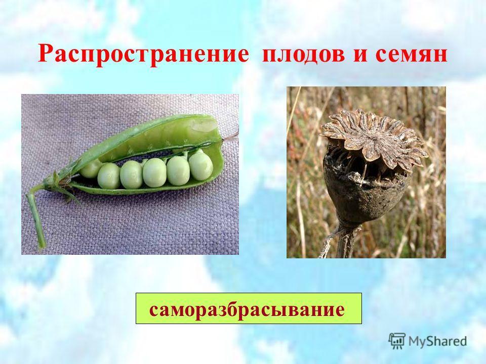 Распространение плодов и семян саморазбрасывание