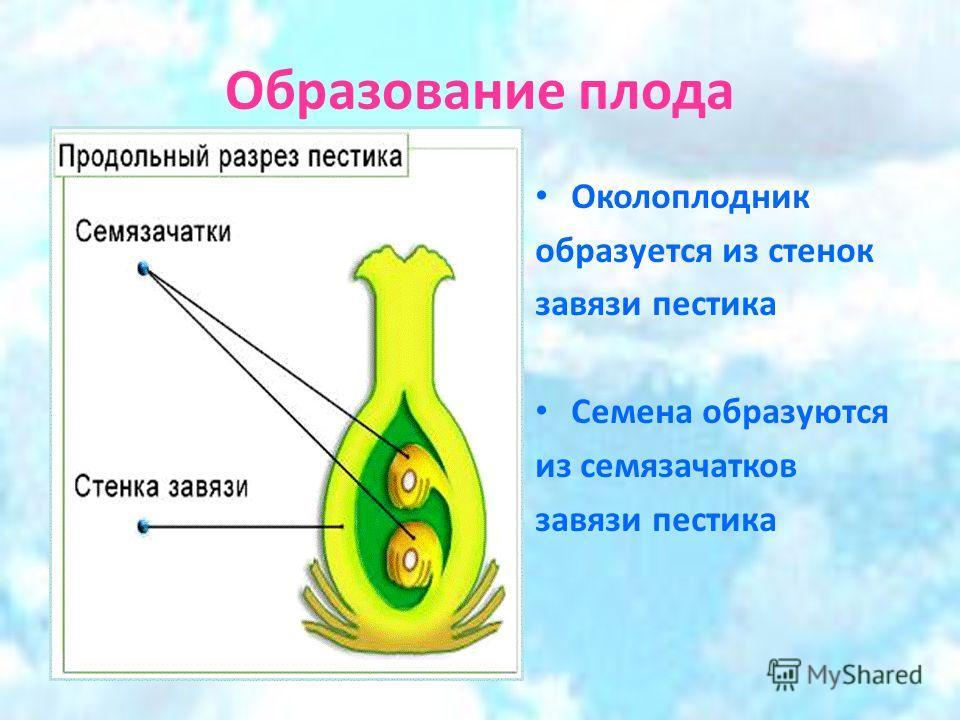 Образование плода Околоплодник образуется из стенок завязи пестика Семена образуются из семязачатков завязи пестика