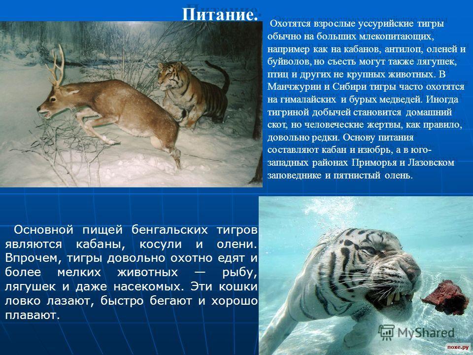 Охотятся взрослые уссурийские тигры обычно на больших млекопитающих, например как на кабанов, антилоп, оленей и буйволов, но съесть могут также лягушек, птиц и других не крупных животных. В Манчжурии и Сибири тигры часто охотятся на гималайских и бур
