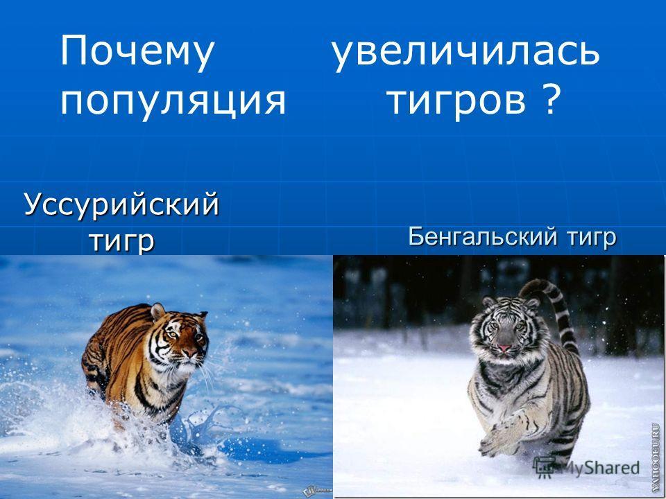 Бенгальский тигр Уссурийский тигр тигр тигр Почему увеличилась популяция тигров ?