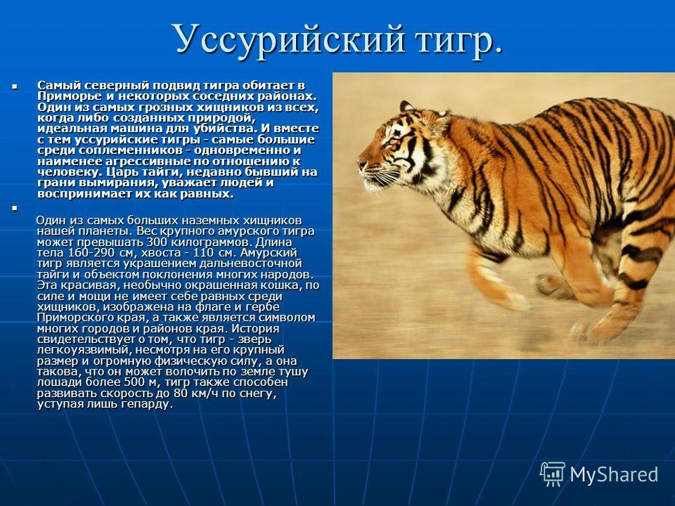 Уссурийский тигр. Самый северный подвид тигра обитает в Приморье и некоторых соседних районах. Один из самых грозных хищников из всех, когда либо созданных природой, идеальная машина для убийства. И вместе с тем уссурийские тигры - самые большие сред