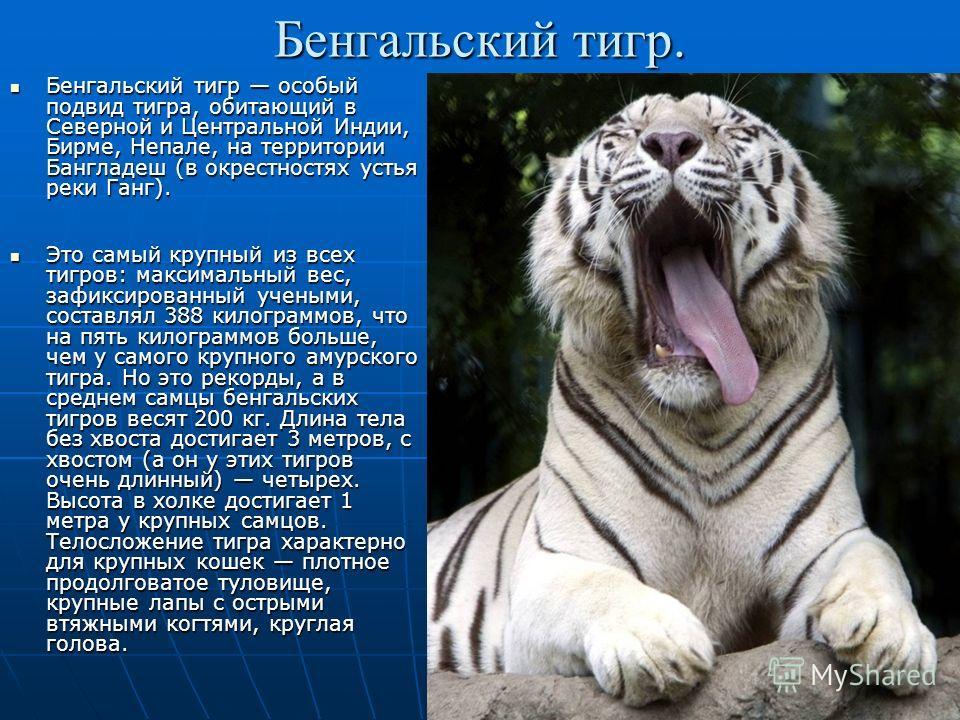 Бенгальский тигр. Бенгальский тигр особый подвид тигра, обитающий в Северной и Центральной Индии, Бирме, Непале, на территории Бангладеш (в окрестностях устья реки Ганг). Бенгальский тигр особый подвид тигра, обитающий в Северной и Центральной Индии,