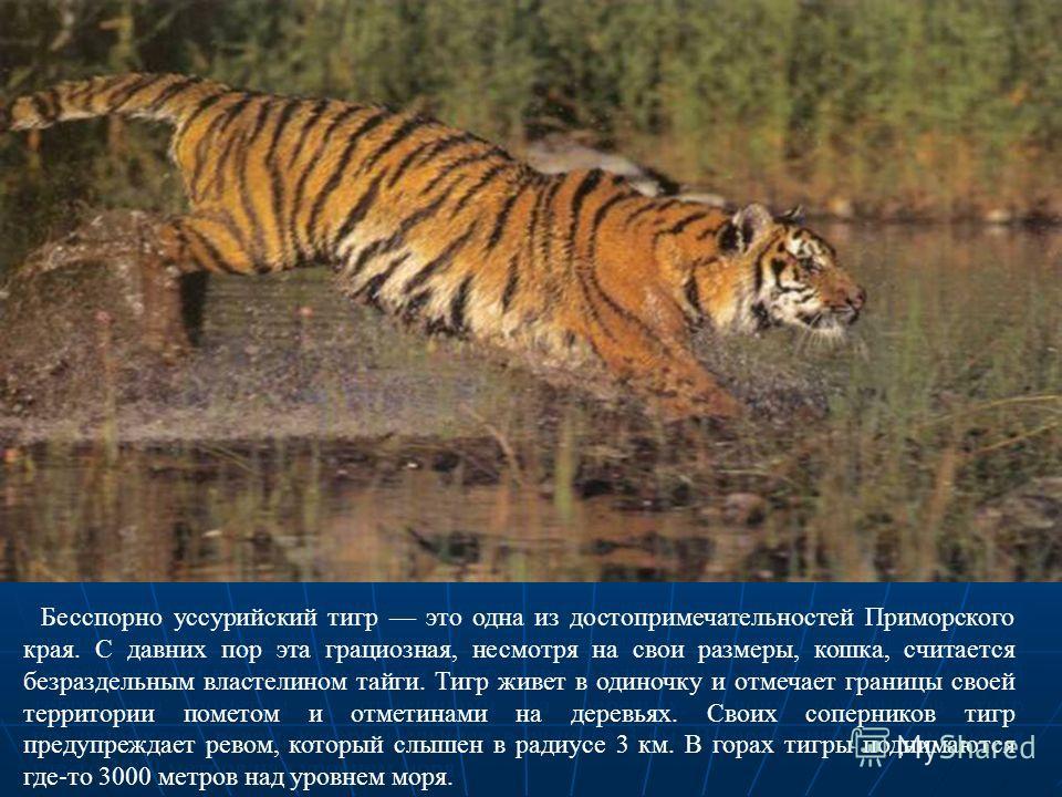 Бесспорно уссурийский тигр это одна из достопримечательностей Приморского края. С давних пор эта грациозная, несмотря на свои размеры, кошка, считается безраздельным властелином тайги. Тигр живет в одиночку и отмечает границы своей территории пометом