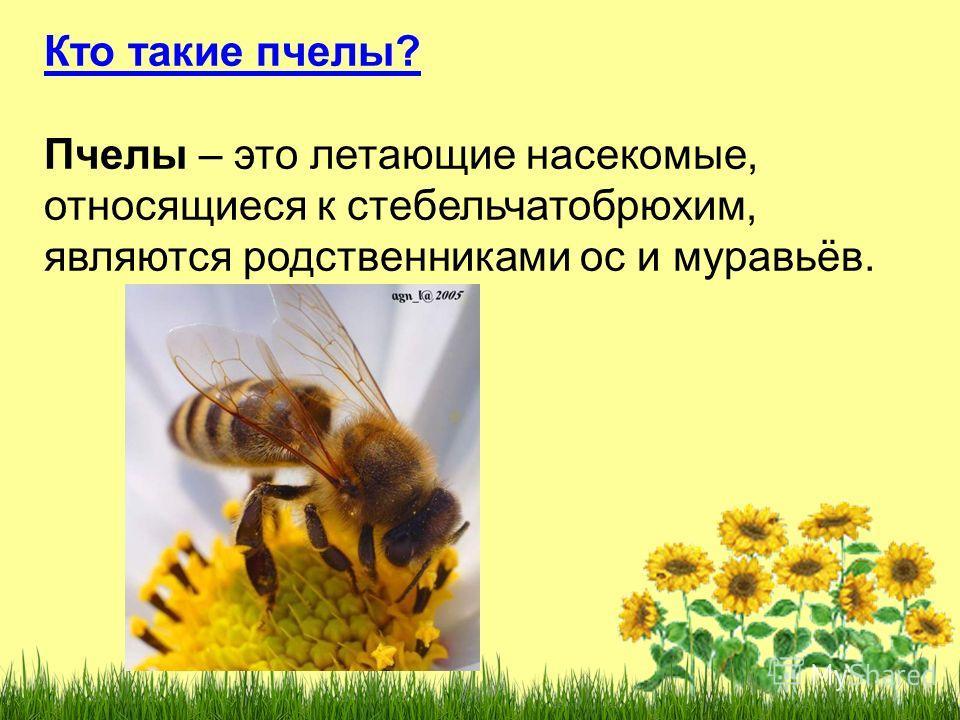 Кто такие пчелы? Пчелы – это летающие насекомые, относящиеся к стебельчатобрюхим, являются родственниками ос и муравьёв.