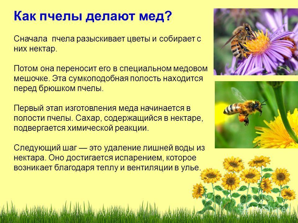 Как пчелы делают мед? Сначала пчела разыскивает цветы и собирает с них нектар. Потом она переносит его в специальном медовом мешочке. Эта сумкоподобная полость находится перед брюшком пчелы. Первый этап изготовления меда начинается в полости пчелы. С