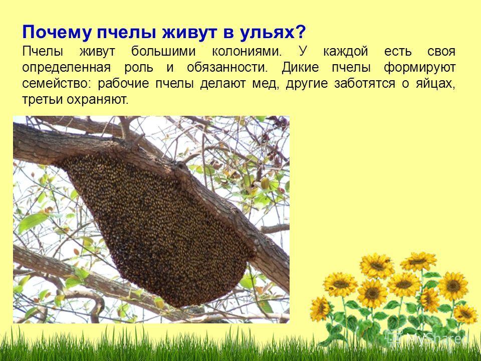 Почему пчелы живут в ульях? Пчелы живут большими колониями. У каждой есть своя определенная роль и обязанности. Дикие пчелы формируют семейство: рабочие пчелы делают мед, другие заботятся о яйцах, третьи охраняют.