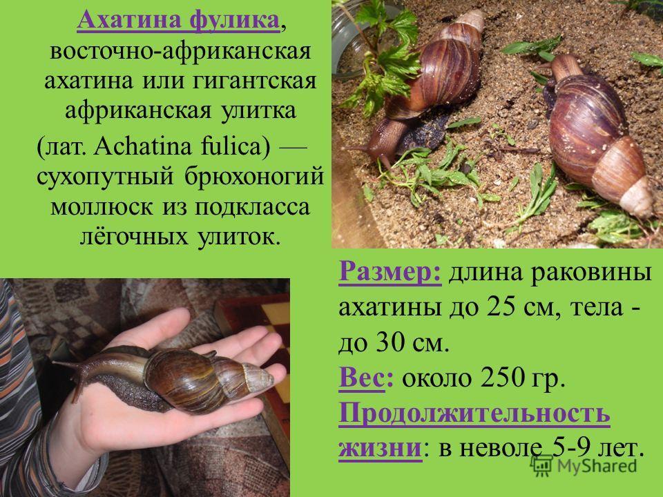 Виды ахатин с фото и описанием