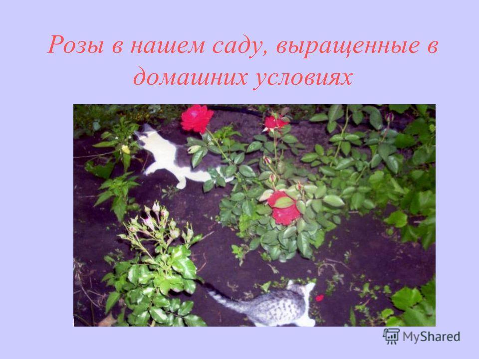 Розы в нашем саду, выращенные в домашних условиях