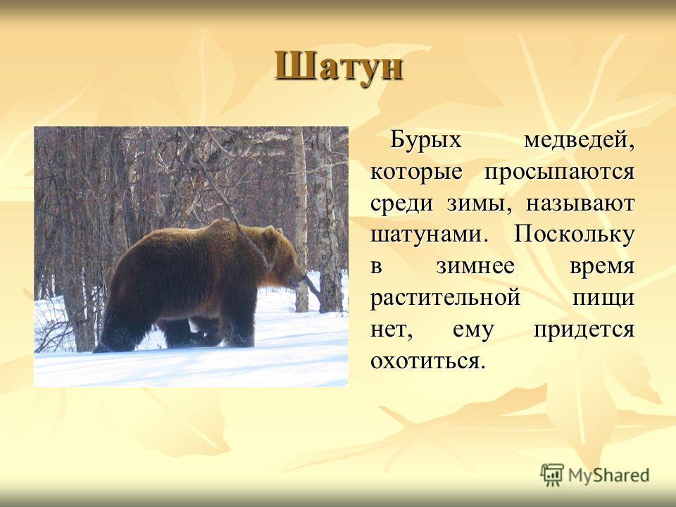 Шатун Бурых медведей, которые просыпаются среди зимы, называют шатунами. Поскольку в зимнее время растительной пищи нет, ему придется охотиться. Бурых медведей, которые просыпаются среди зимы, называют шатунами. Поскольку в зимнее время растительной