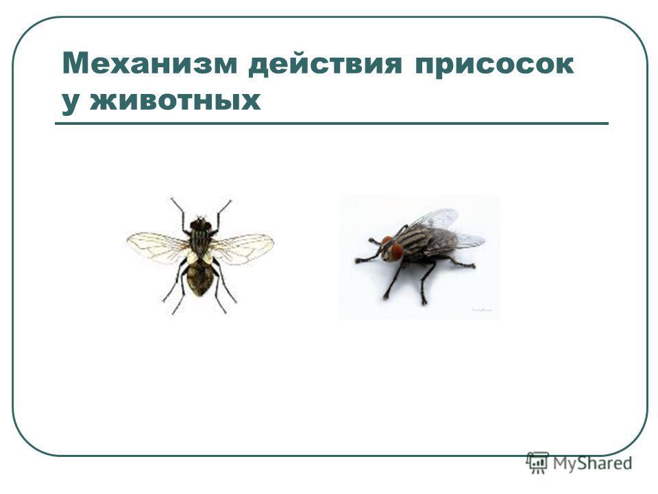 Механизм действия присосок у животных
