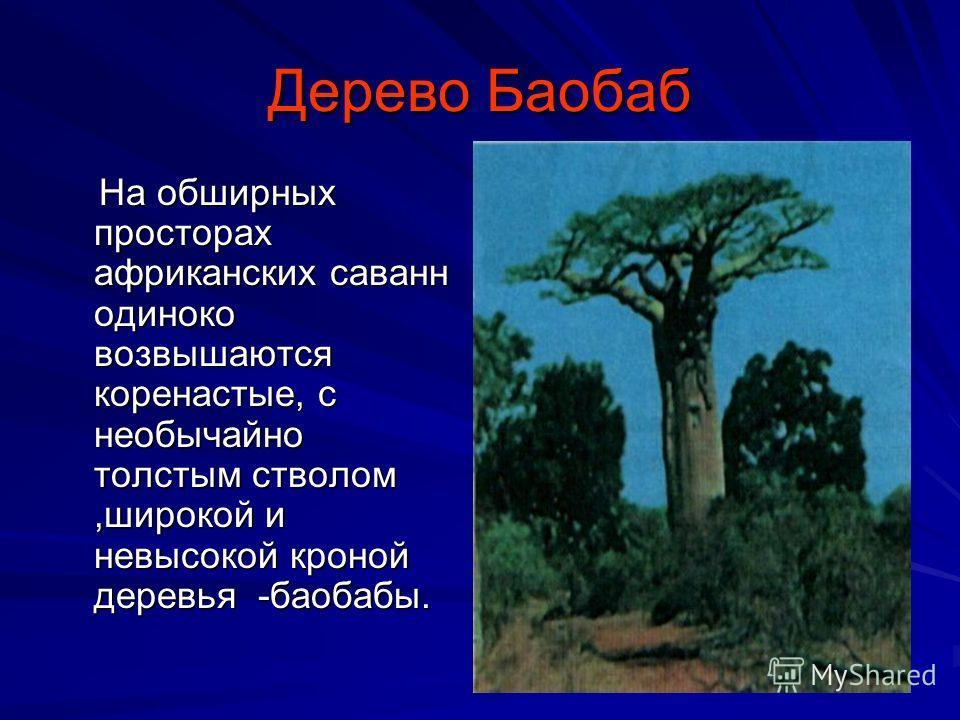 Дерево Баобаб На обширных просторах африканских саванн одиноко возвышаются коренастые, с необычайно толстым стволом,широкой и невысокой кроной деревья -баобабы. На обширных просторах африканских саванн одиноко возвышаются коренастые, с необычайно тол