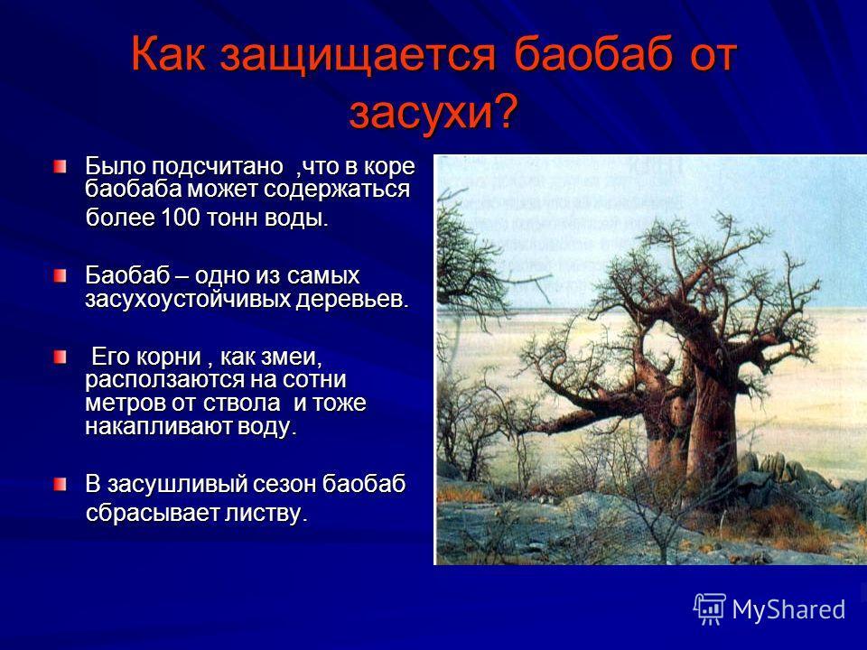 Как защищается баобаб от засухи? Было подсчитано,что в коре баобаба может содержаться более 100 тонн воды. более 100 тонн воды. Баобаб – одно из самых засухоустойчивых деревьев. Его корни, как змеи, расползаются на сотни метров от ствола и тоже накап