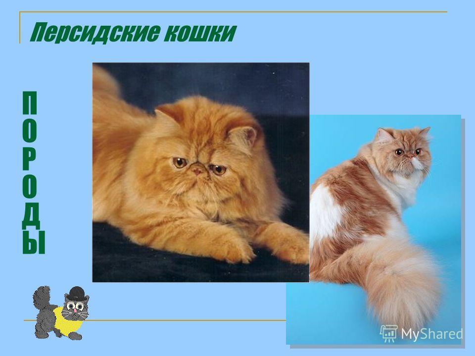 Персидские кошки ПОРОДЫПОРОДЫ