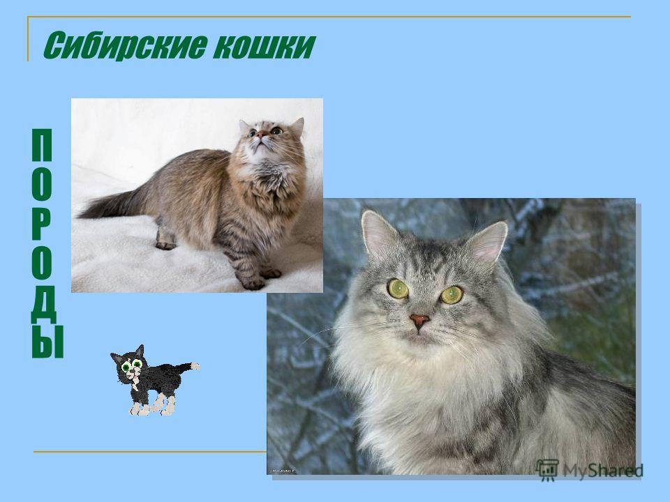 Сибирские кошки ПОРОДЫПОРОДЫ