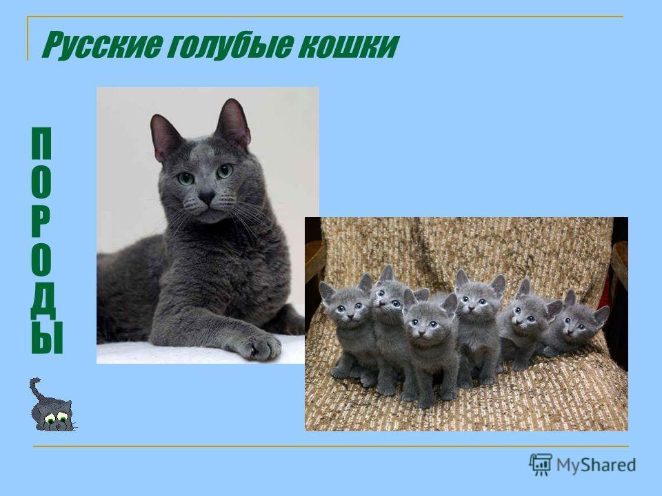 Русские голубые кошки ПОРОДЫПОРОДЫ