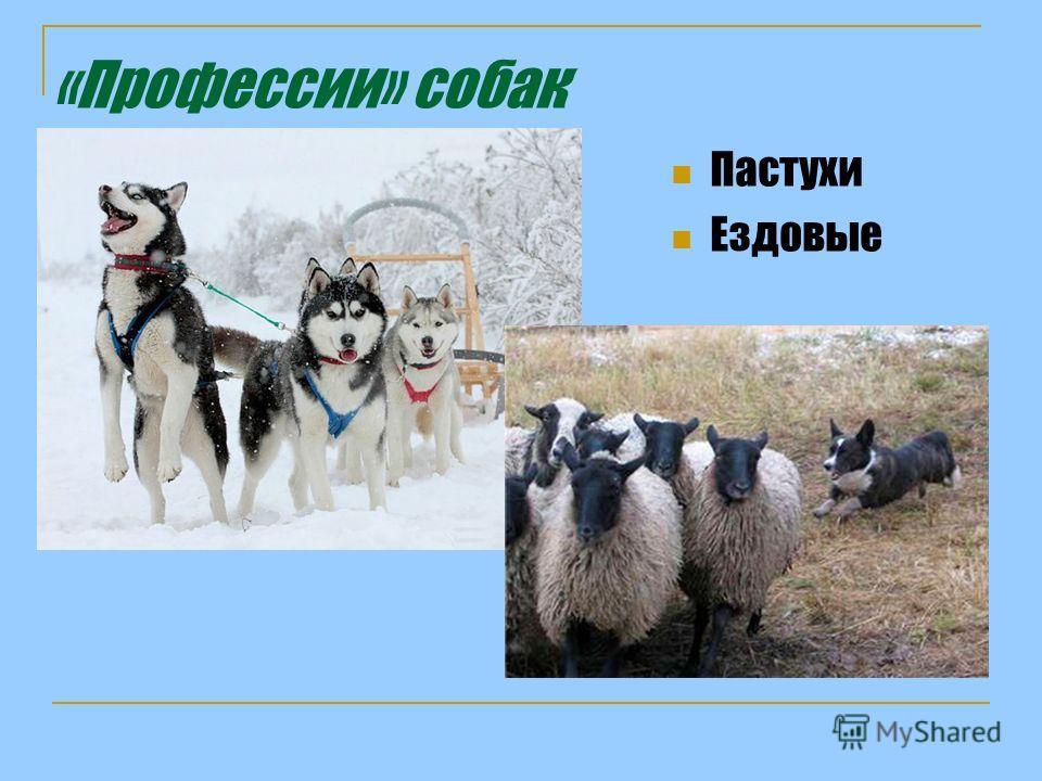 «Профессии» собак Пастухи Ездовые