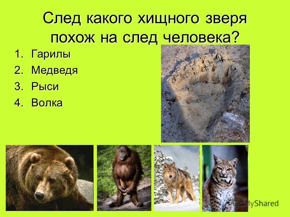 След какого хищного зверя похож на след человека? 1.Гарилы 2.Медведя 3.Рыси 4.Волка
