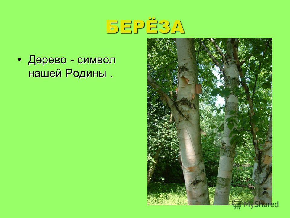 БЕРЁЗА Дерево - символ нашей Родины.Дерево - символ нашей Родины.