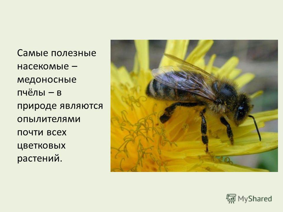 Самые полезные насекомые – медоносные пчёлы – в природе являются опылителями почти всех цветковых растений.