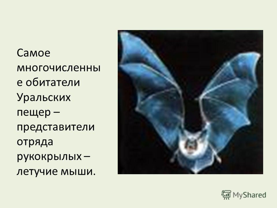 Самое многочисленны е обитатели Уральских пещер – представители отряда рукокрылых – летучие мыши.