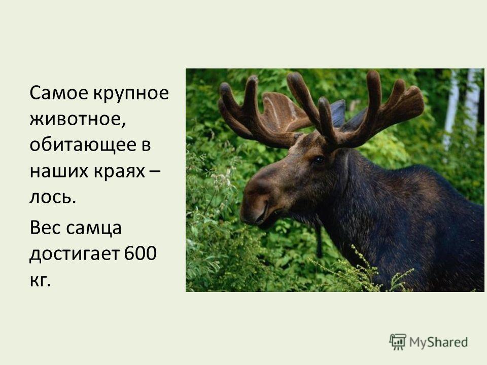 Самое крупное животное, обитающее в наших краях – лось. Вес самца достигает 600 кг.