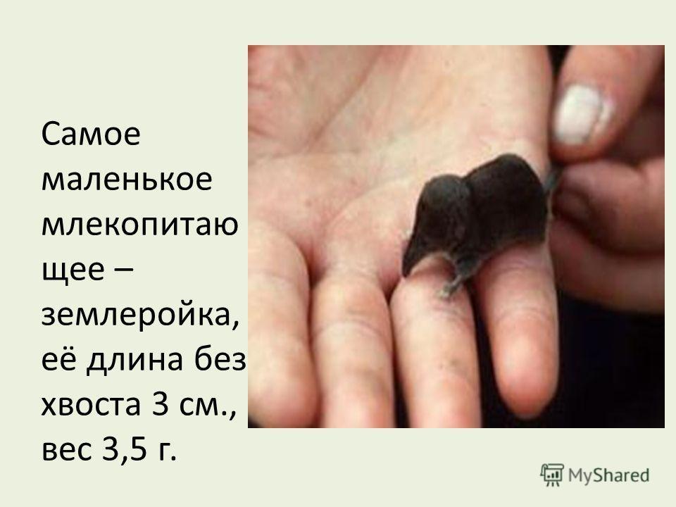 Самое маленькое млекопитаю щее – землеройка, её длина без хвоста 3 см., вес 3,5 г.
