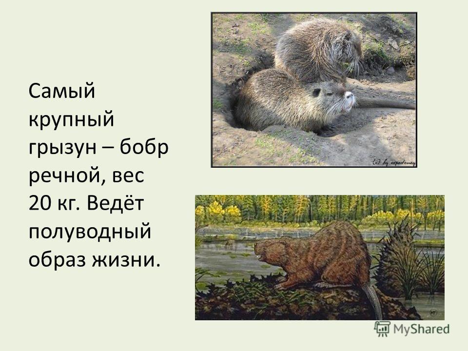 Самый крупный грызун – бобр речной, вес 20 кг. Ведёт полуводный образ жизни.