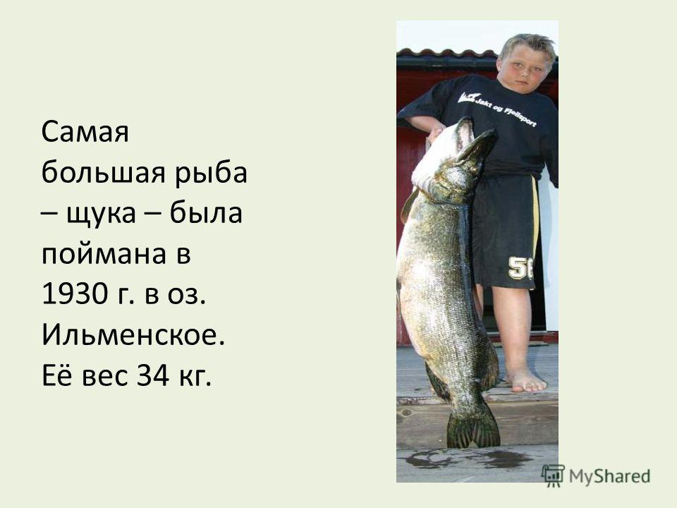 Самая большая рыба – щука – была поймана в 1930 г. в оз. Ильменское. Её вес 34 кг.