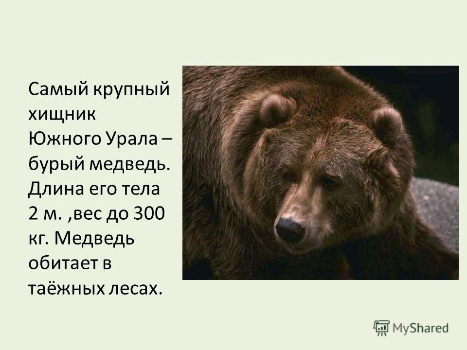 Самый крупный хищник Южного Урала – бурый медведь. Длина его тела 2 м.,вес до 300 кг. Медведь обитает в таёжных лесах.