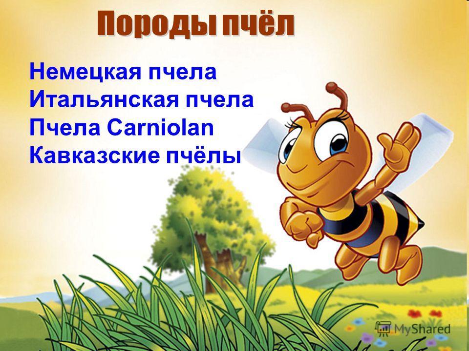 Немецкая пчела Итальянская пчела Пчела Carniolan Кавказские пчёлы