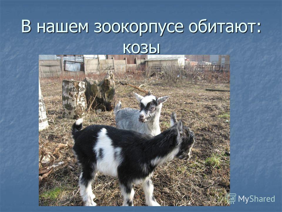 В нашем зоокорпусе обитают: козы