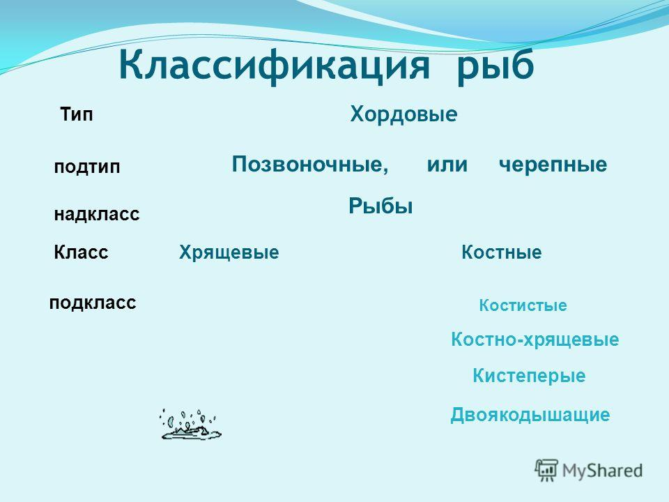 Классификация рыб Хордовые Тип подтип Позвоночные, или черепные надкласс Рыбы КлассХрящевые Костные подкласс Костистые Костно-хрящевые Кистеперые Двоякодышащие