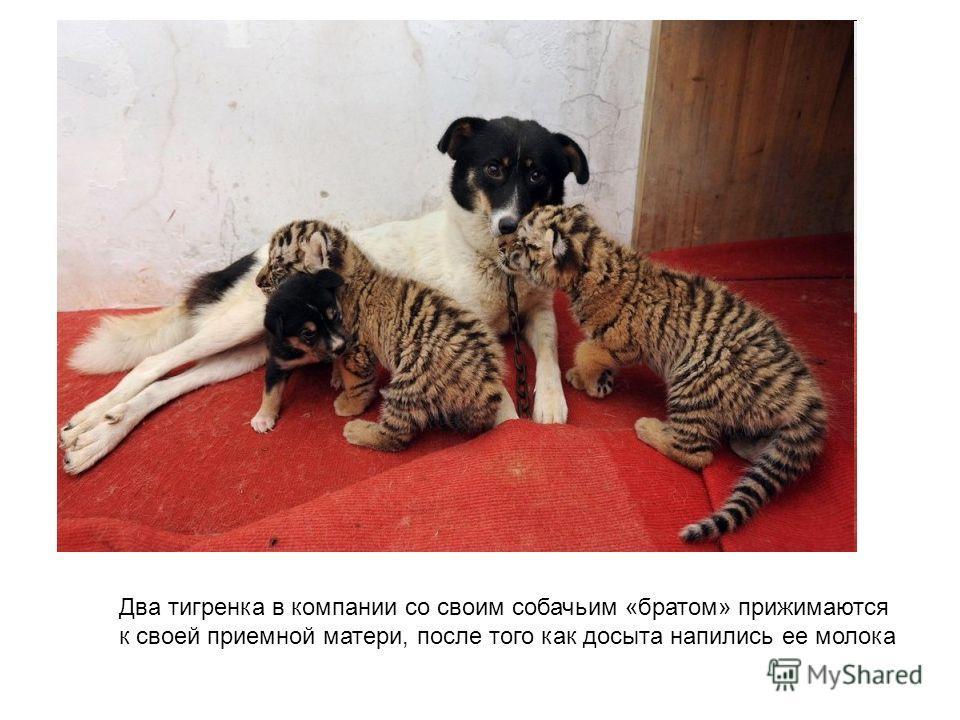 Два тигренка в компании со своим собачьим «братом» прижимаются к своей приемной матери, после того как досыта напились ее молока