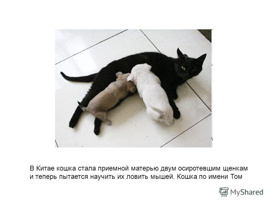 В Китае кошка стала приемной матерью двум осиротевшим щенкам и теперь пытается научить их ловить мышей. Кошка по имени Том