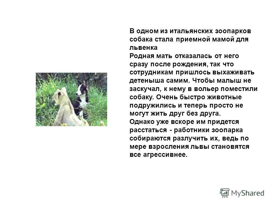 В одном из итальянских зоопарков собака стала приeмной мамой для львeнка Родная мать отказалась от него сразу после рождения, так что сотрудникам пришлось выхаживать детeныша самим. Чтобы малыш не заскучал, к нему в вольер поместили собаку. Очень быс